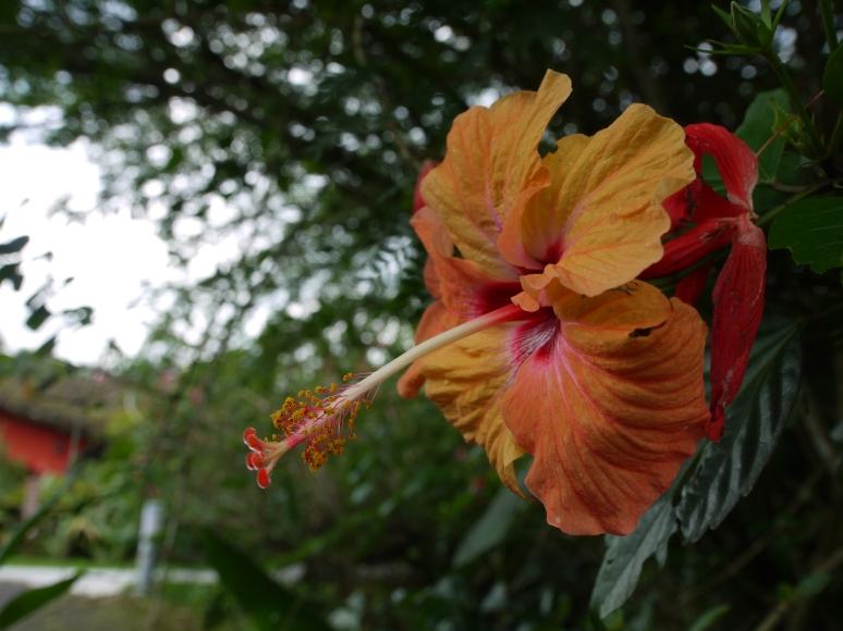 Hibiscus, Costa Rica